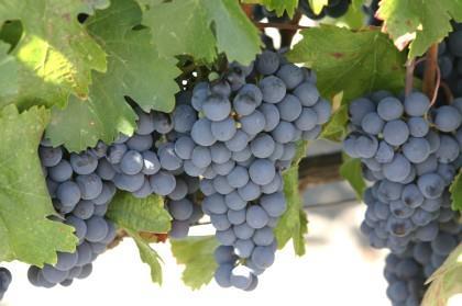 Estudos científicos endossam benefícios da uva e seus derivados à saúde
