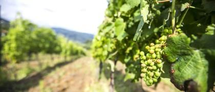 Produção de vinho na região do Douro e Porto deve aumentar 20%