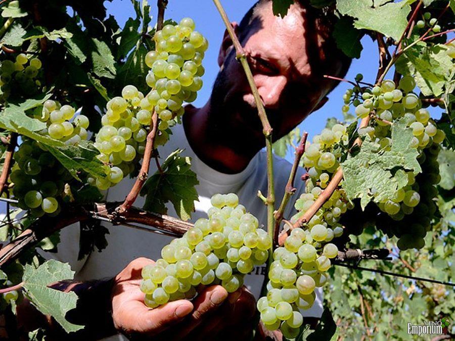 Funcionário colhe uvas no vinhedo de Michel Drappier, em Urville, na França, no dia 11 de setembro