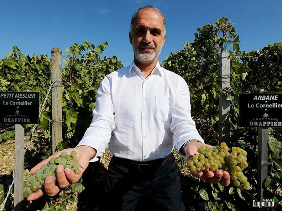 Michel Drappier, posa em seu vinhedo em Urville, na França, exibindo uvas das variedades Petit Meslier e Arbane