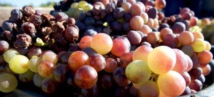 De onde vêm as principais leveduras do vinho?