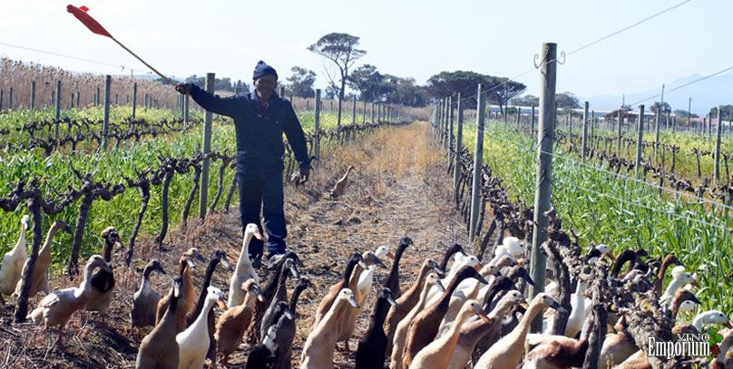 Vinícola utiliza trabalhadores inusitados nos vinhedos