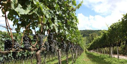 Safra 2017 deve atingir 600 milhões de quilos de uva