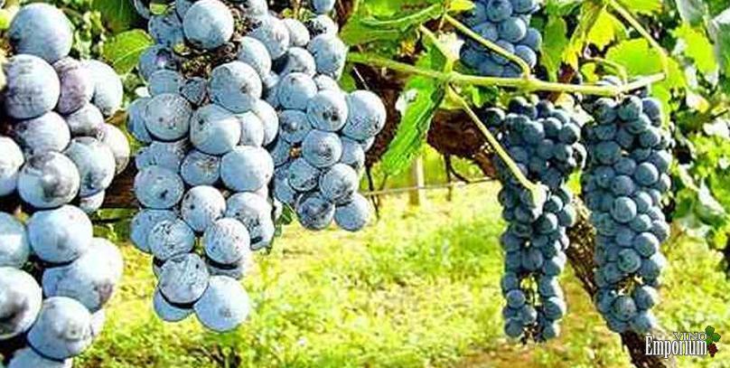 Bons vinhos precisam de boas mudas, aponta Epamig
