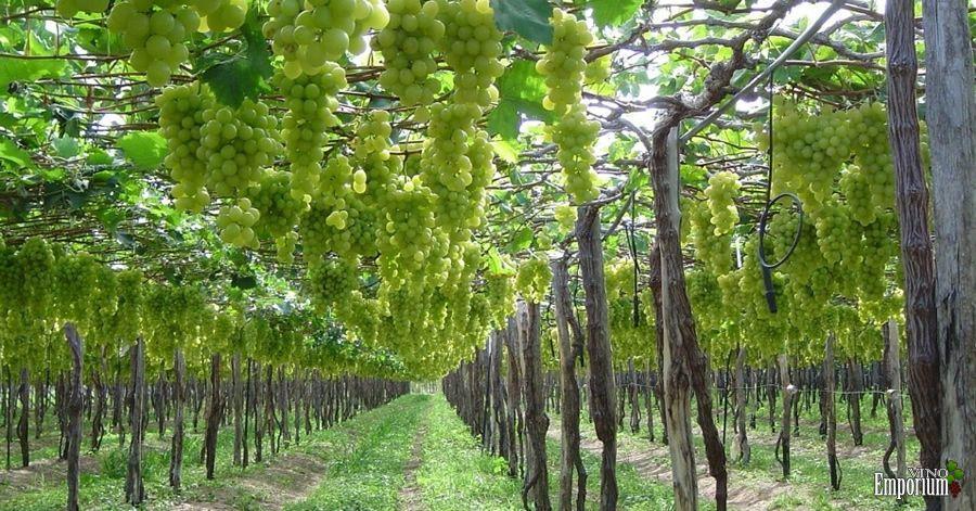 Vinícola Ouro Verde, da Miolo, localizada no município de Casa Nova, na Bahia