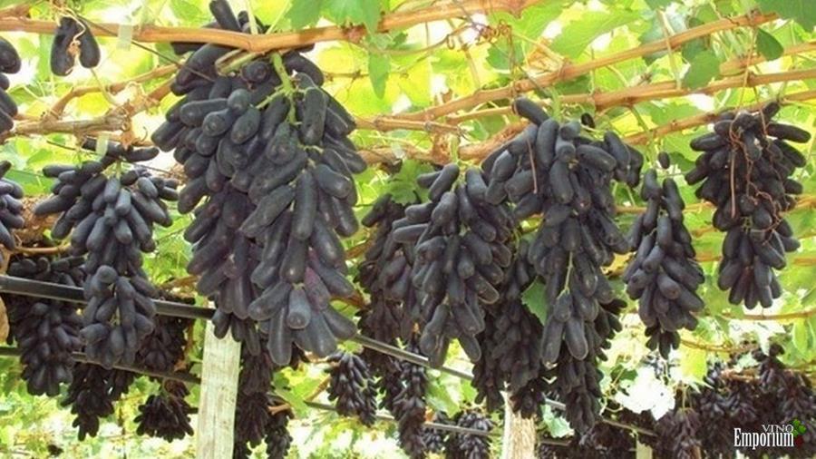 A uva sweet sapphire (safira doce, em inglês) é uma novidade no mercado brasileiro, e está ficando conhecida como uva dedo-de-moça