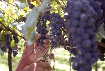Dia do Vinho será celebrado em vários estabelecimentos de São Roque