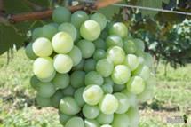 Uva Moscato Branco